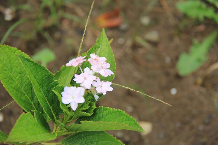 9月の紫陽花2.jpg