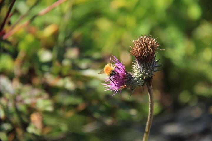 アザミと蜂.jpg
