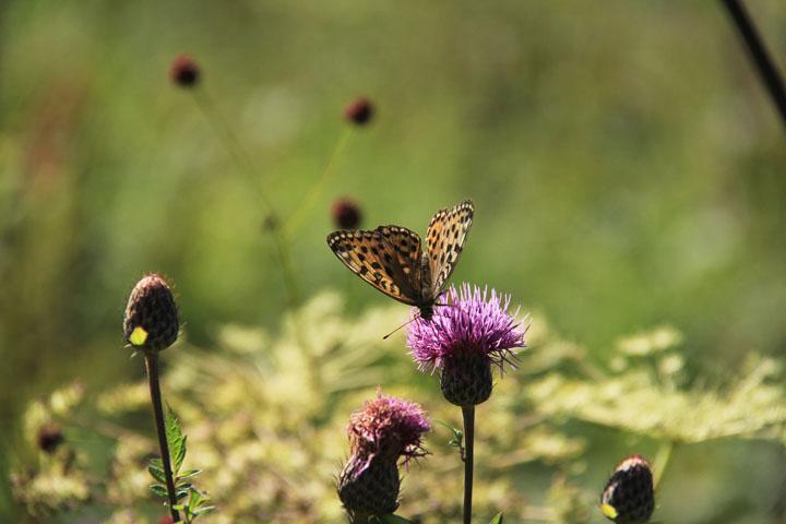 アザミと蝶.jpg