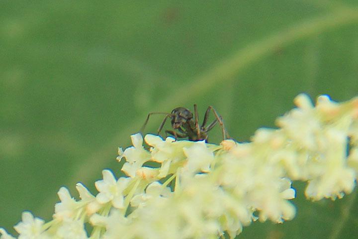 イタドリと蜘蛛.jpg