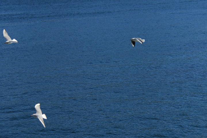 カモメの飛翔.jpg