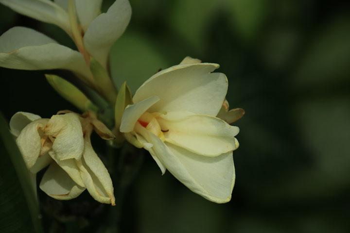 カンナトロピカルホワイト.jpg