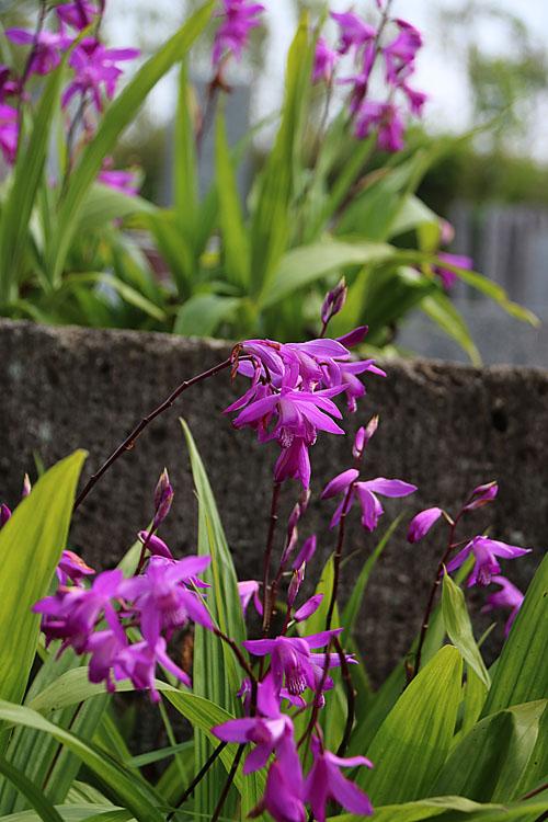 シラン(紫).jpg