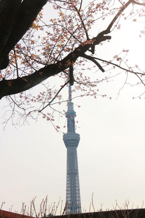 スカイツリーと桜2.jpg