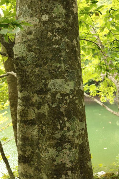 ブナの木肌.jpg