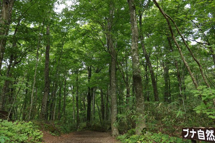 ブナ自然林.jpg