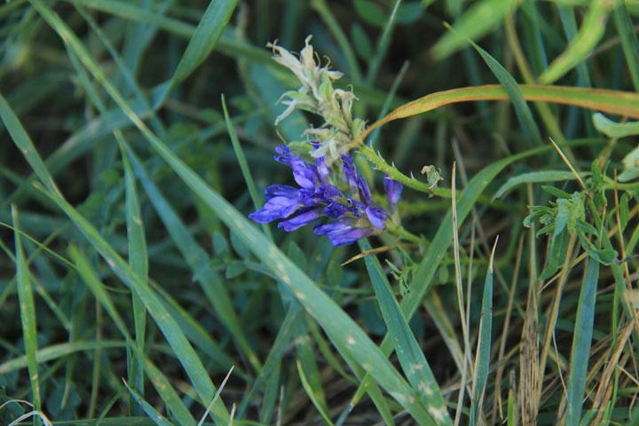 マメ科の植物.jpg