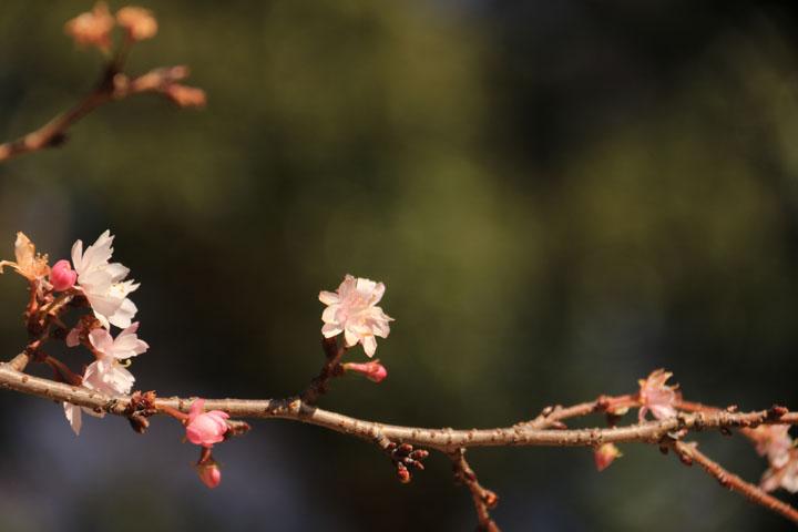 冬桜2.jpg