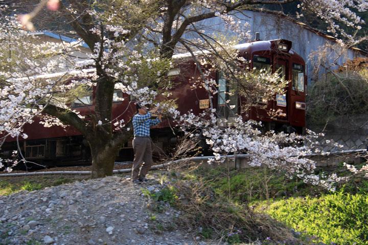 列車と桜.jpg