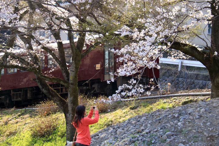 列車と桜0.jpg