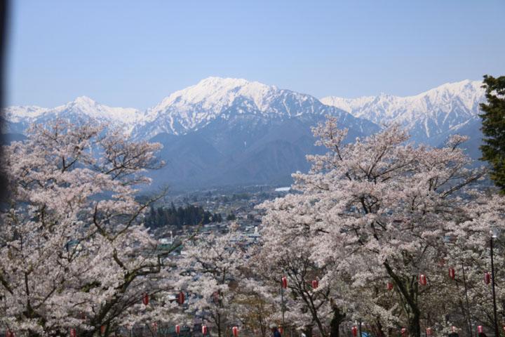 大町桜2.jpg