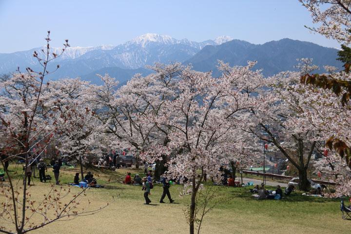 大町桜3.jpg