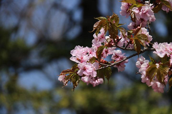 大町桜4.jpg