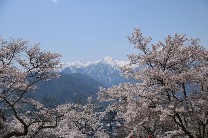 大町桜6.jpg
