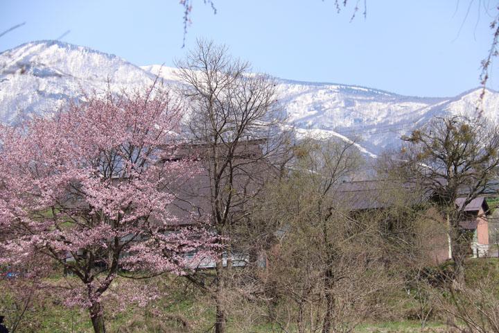 家並と桜.jpg