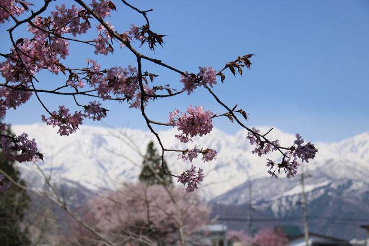山と桜.jpg
