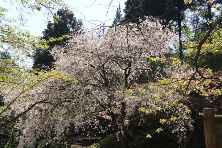 想い桜.jpg