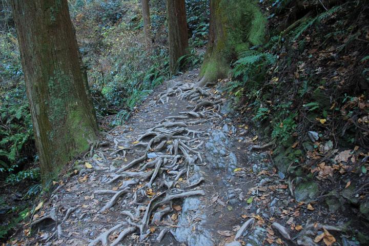 木の根の張り出す道.jpg