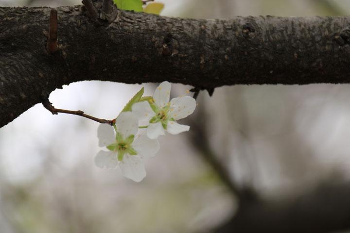 桜4.jpg