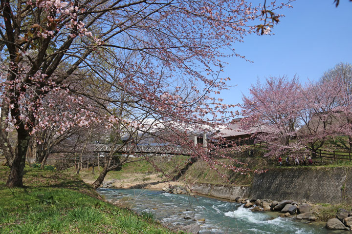 桜と川.jpg