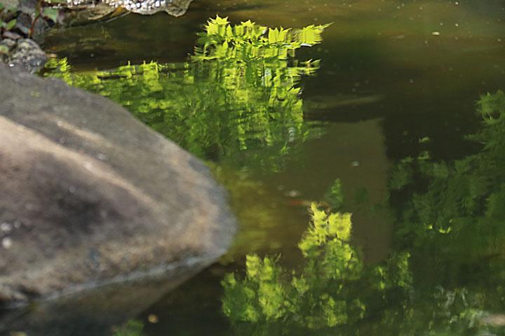 池に映る新緑.jpg