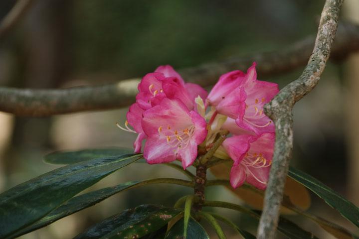 石楠花.jpg