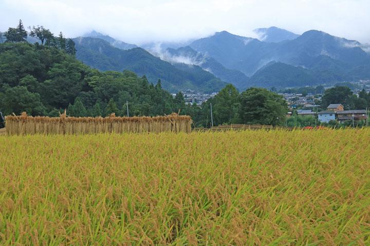 稲とmura と山.jpg