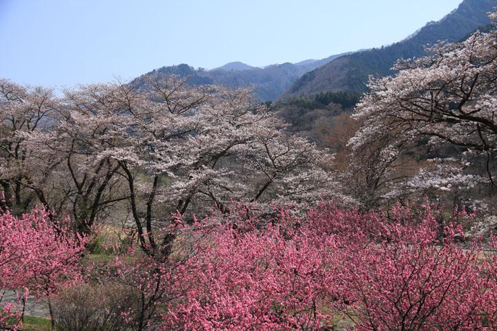 花桃と桜2.jpg