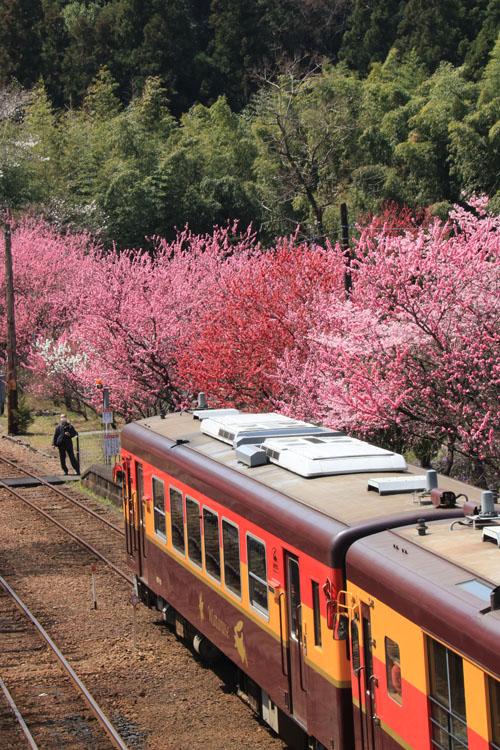 花桃と電車.jpg