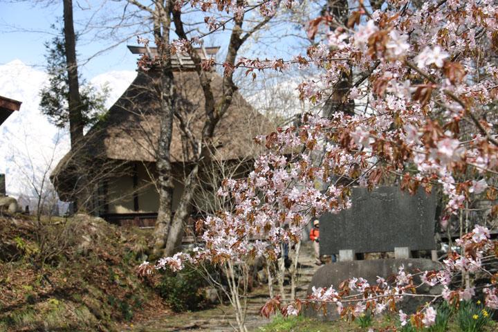 茅葺屋根と桜.jpg