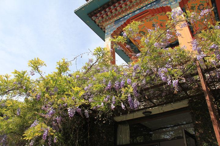 藤の花とお寺.jpg