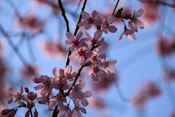 雅桜.jpg