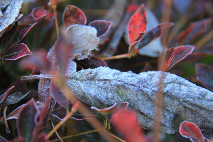 霜がついた葉.jpg