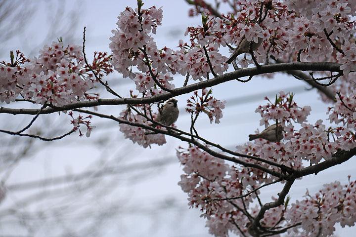 スズメと桜2.jpg