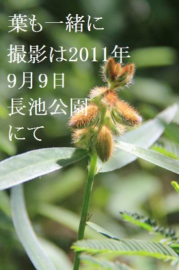 タヌキマメ2.jpg