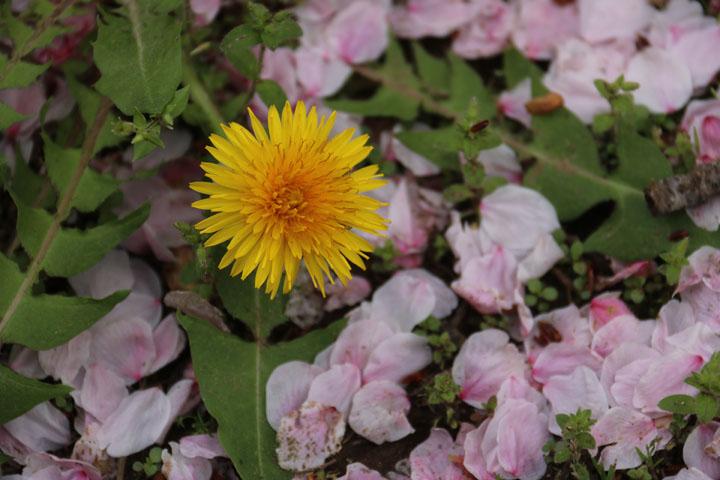 タンポポと花びら.jpg