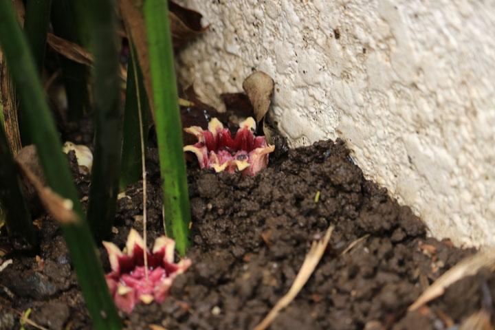 ハランの花.jpg