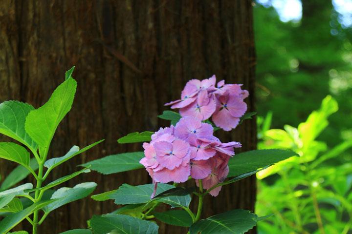 ピンクの紫陽花.jpg