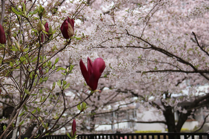 モクレンと桜.jpg