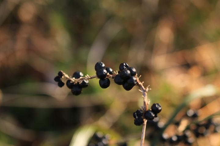 ヤブランの種子.jpg