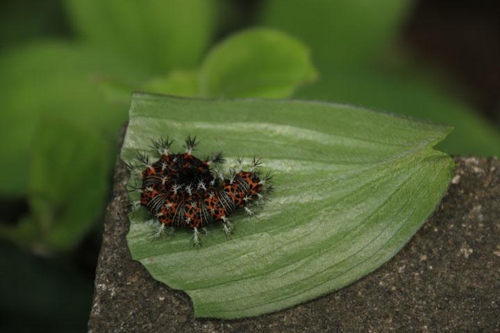 ルリタテハの幼虫.jpg