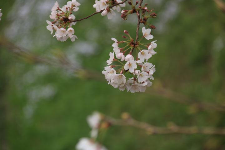 京成桜.jpg