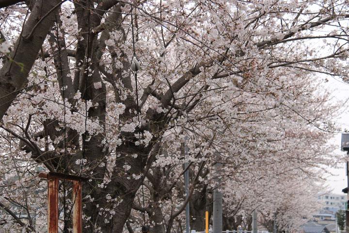 京成桜2.jpg