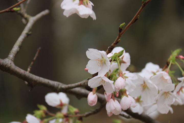 桜6.jpg