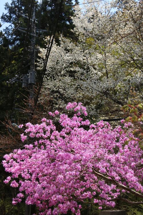 桜と.jpg