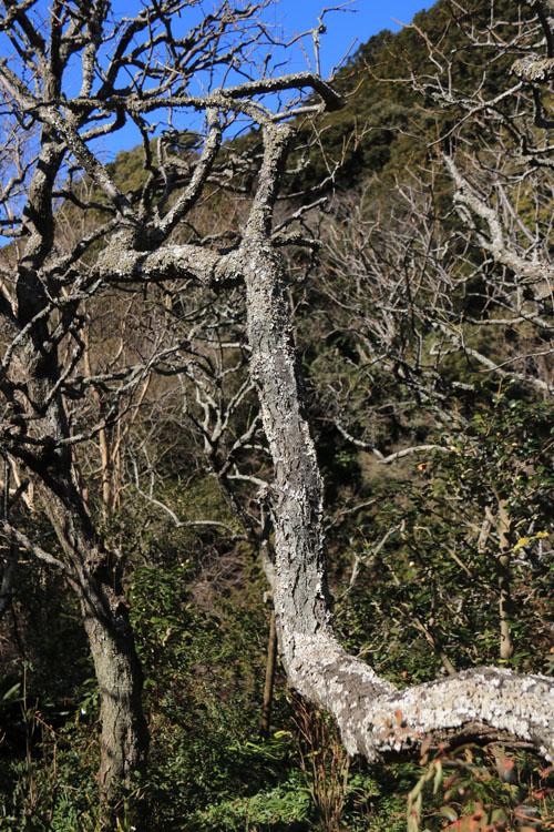 梅の古木.jpg