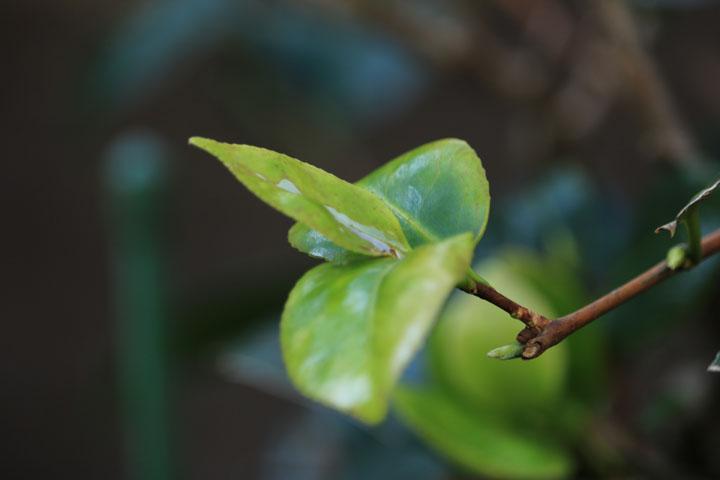 椿の新芽.jpg