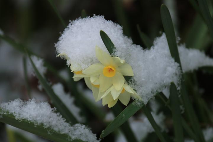 水仙と雪.jpg