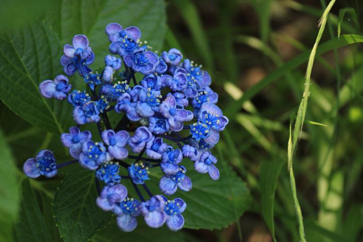 渦紫陽花.jpg