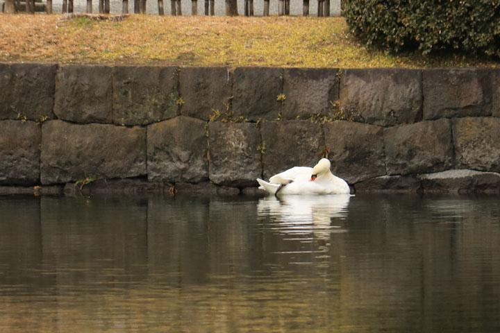 白鳥.jpg